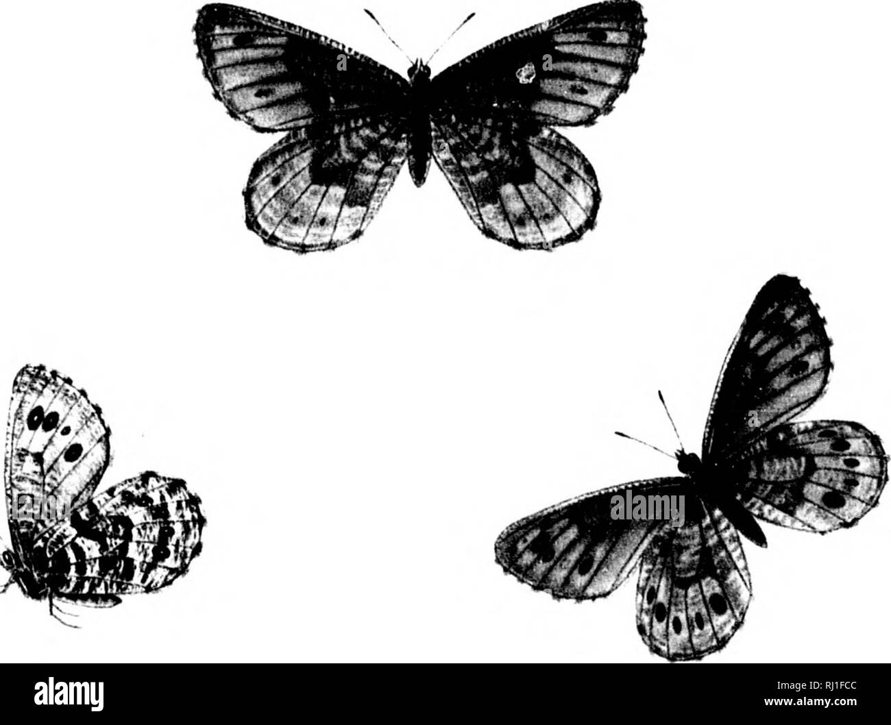 . The butterflies of North America; third series [microform]. Butterflies; Butterflies; Lepidoptera; Papillons; Papillons; Lépidoptères. VARUNA: 1 c 6 ? 49,5 r. ^. Please note that these images are extracted from scanned page images that may have been digitally enhanced for readability - coloration and appearance of these illustrations may not perfectly resemble the original work.. Edwards, William H. (William Henry), 1822-1909. Boston; New York : Houghton, Mifflin - Stock Image