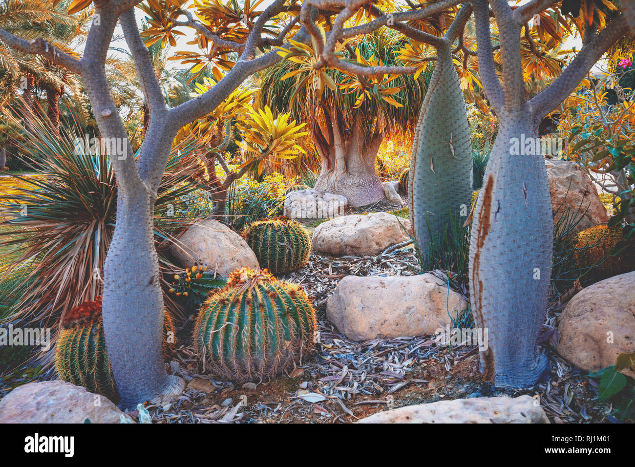 Pachypodium grove (madagascar palms) - Stock Image