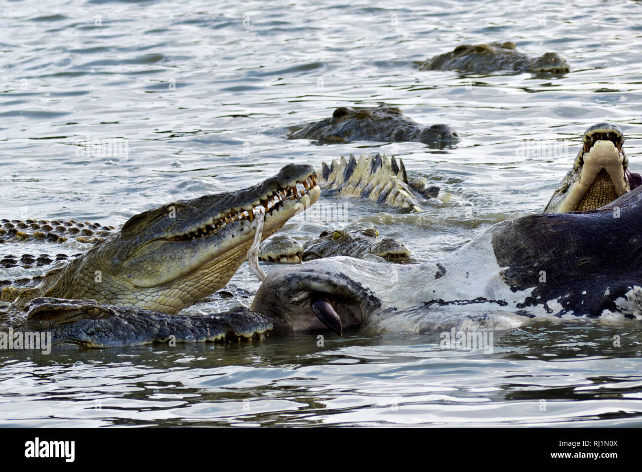 A group oflarge crocodiles join in a feeding franzy feeding off the carcasse of a large bull hippo that died in a territorial fight Stock Photo