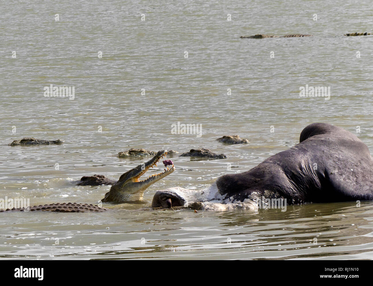 A group of large crocodiles join in a feeding franzy feeding off the carcasse of a large bull hippo that died in a territorial fight in one of the Ruf Stock Photo