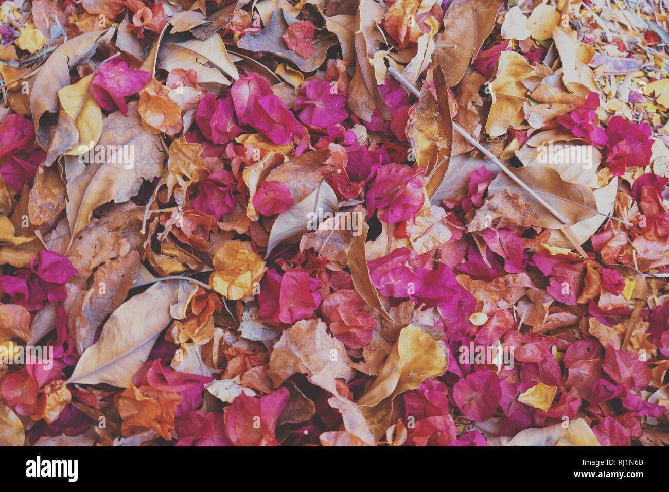 Fallen leaves and dry rose petals background Stock Photo