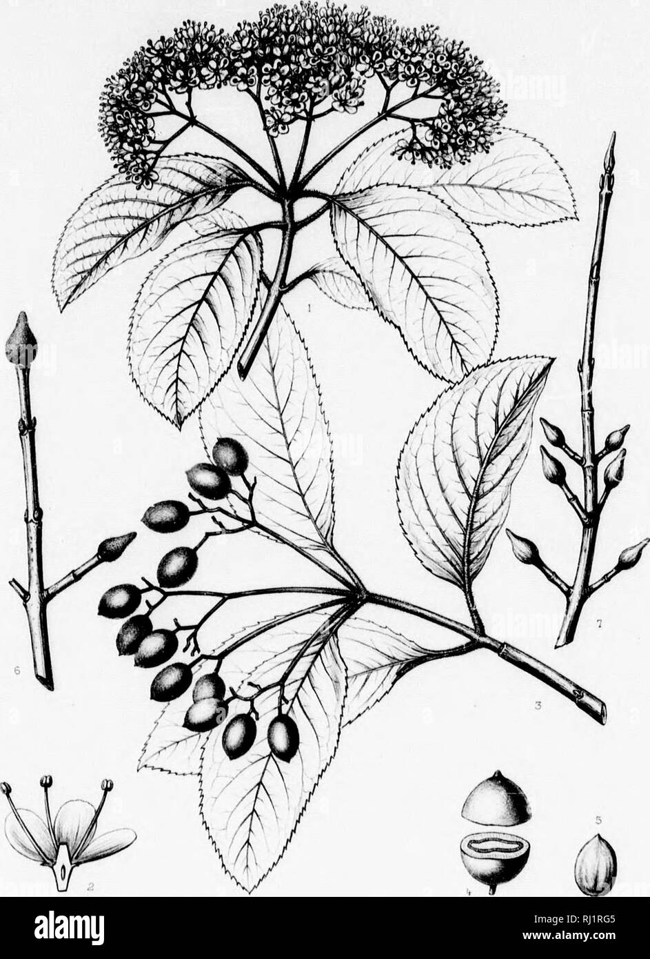""". The silva of North America [microform] : a description of the tree which grow naturally in North America exclusive of Mexico. Trees; Trees; Arbres; Arbres. CAPKIPOLIACKiR ' bottom-laiuLt, and is oiiiity, Florida, south- imon and most bettuti- ;li itn grpjit cl listers of us its largest size ii nuri in 1883, and Itait Lh Atlantic and eajiloni GuK uiaaA, the Indian Torritm'j. )iu«ll, Julj 27, 1892. ne, 1878. U'vt^ii in Cherokre Connljr, V W hit ford. ( ro»t« //t* Silva oF North America Tab DCCX. f^' J"""".' Ktatjn- ciM- VIBURNUM RUFIDULUM R:il J^Ki^nne j-c A }it.'rrf44.r ./^/•rtr Jnif* .//hf Stock Photo"""