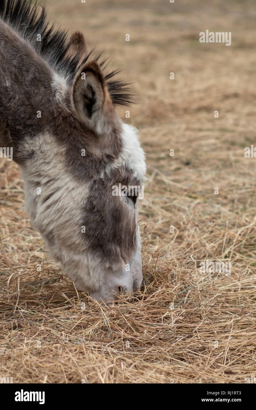 close up of the head of a donkey Stock Photo