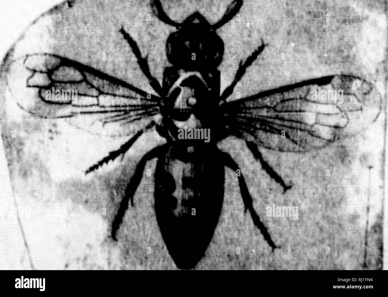 . Synopsis of American wasps [microform] : solitary wasps. Wasps; Wasps; Hymenoptera; Guèpes; Guèpes; Hyménoptères. HYMENOPTEHA OF AMERICA. [part I. Oen. TRIMERIA Sadss.' Ay^tennie clubbed, lenglhened ; the last articles very indistinct. Lip not extensile, tongue shaped, billd. Labial palpi composed of three articles; maxillary apparently of none. Mandibles tolerably sharp. Abdominal segments constricted at their base ; not retractile. 1. T. americaiia Sauss. Eriniiys americatid Sadss. Ann. Soc. Ent. Fr. 3(1 ser. I, Bull, xx, 1853.â Trimeria americana Sacss. Vespides, III, 1854, 81, PI. iv - Stock Image