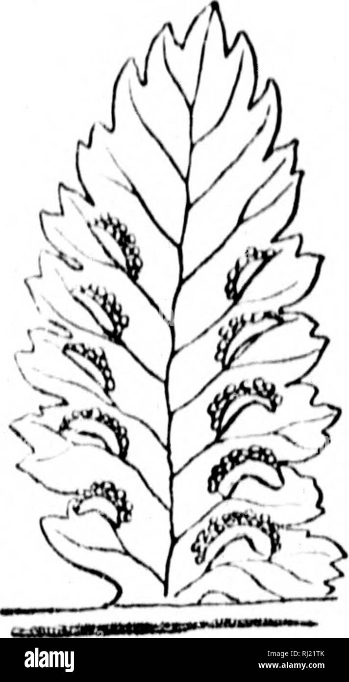 """. How to know the ferns [microform] : a guide to the names, haunts, and habits of our common ferns. Ferns; Fougères. PLATE XV IS : country eet liigli, ilks. -x.twire- , toothed , curved, ^' conn, â¢f wild, ladside >plecn- luilose id for ^amot, brook low as le the ^ yV 'iiter 'â /"""". Please note that these images are extracted from scanned page images that may have been digitally enhanced for readability - coloration and appearance of these illustrations may not perfectly resemble the original work.. Dana, William Starr, Mrs. , 1861-1952. Toronto : Publishers' Syndicate Stock Photo"""