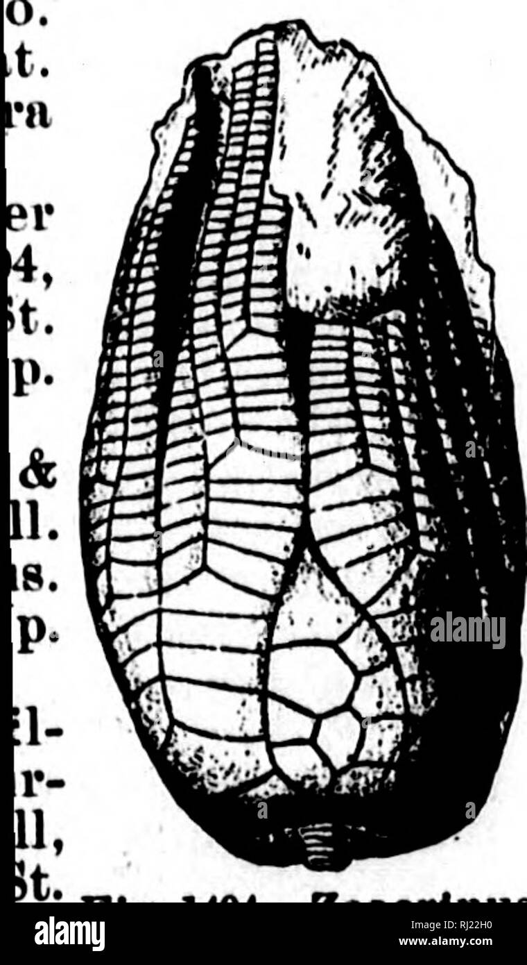 . North American geology and palaeontology for the use of amateurs, students, and scientists [microform]. Paleontology; Paleontology; Geology; Paléontologie; Paléontologie; Géologie. •o^Jo- SUBKINGDOM MOLLUSCOIDA. CLASS BRYOZOA. mte. Miller and (iur-. Several genera included among the Bryozoa, in the original text of this work, belong to the polyp corals. See remarks under Ccelenterata. in 1889, when the work was in part printed, and most of the article on the Bryozoa was in the ^'alleys, but not yet made up into pages, part of the printed pages of Vol. YIII of the Illinois Geo. Sur. was prese Stock Photo