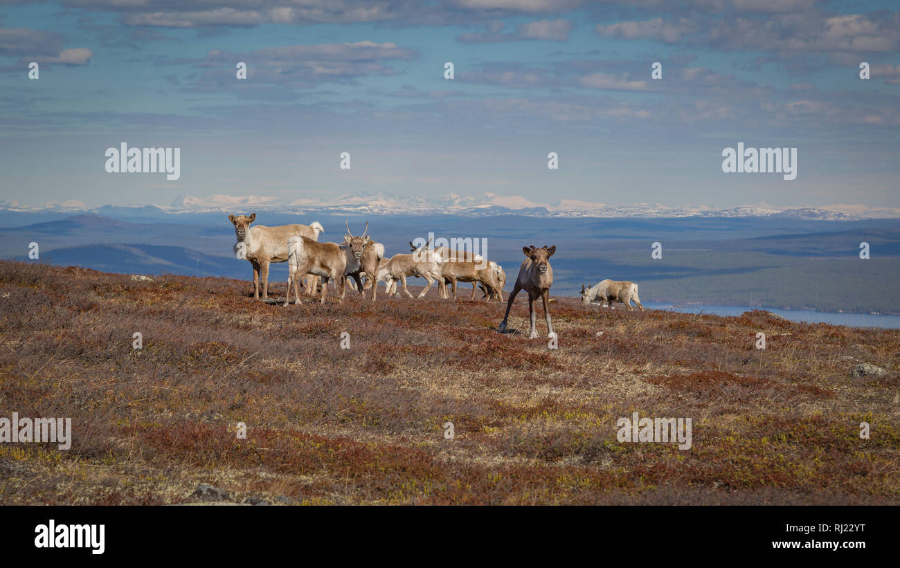 Reindeer herd grazing on a mountainside in Swedish Lapland with  beautiful vista in the background - Stock Image