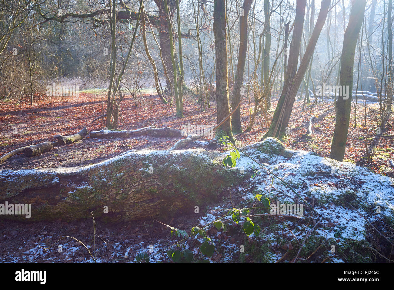 Frost and snow on a felled oak tree during a sunny winter day in a medieval english woodland dating from norman times and formerly used for hunting an - Stock Image