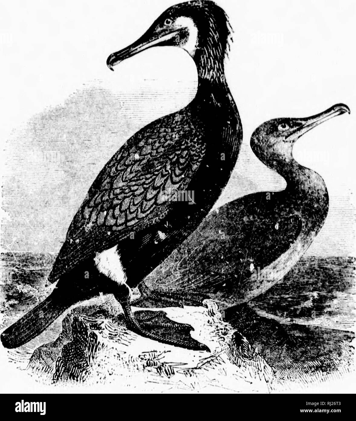 . A popular handbook of the ornithology of eastern North America [microform]. Birds; Ornithology; Game and game-birds; Water-birds; Oiseaux; Ornithologie; Gibier; Oiseaux aquatiques. nut; wing- wnish ; sac and licck sometimes )0 X i.Qj- ast of the St Indies, ; are like- he bay of pursuit of ]K'ninsula sissippi as ig species, elves, they of digest- for hours icli times, natives to leck, with- like some t affection will carry- had seen imong the nd return with fish, leaving it vice. ulf States, nples have. CORMORANT. SHAG. PH.'vI.AC'UOCnUAX CARIIO. Char. Prevailing color black, with metallic ref - Stock Image