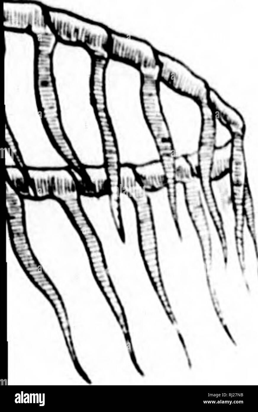 . Amphioxus and the ancestry of the vertebrates [microform]. Vertebrates; Chordata; Fishes; Ascidiacea; Vertébrés; Cordés; Poissons; Ascidiacés. EXTERNAL EORM. 19 ohanncs Mu^ ^'-apparatus,: lyoid or ton^ the jaw-bear; itcs, but tr ;) the same I., the moiith-Q: the Cyclost ⢠I'hicli posscjv .rti]ai;e in a.: 1 the labial; of Selach:.,, >sence ot pa;:. of any kiiii; i>rL;'an has b.. d above. TIk .'er, a iiicdi. 1 eonsisls 1: vely laii;!' :; s:t remit - oft:. al cartilafj(.â .-, of A' Mi'I.I.KK.'l 1 1 ti) ftui in liiciii.^ 11(1 fai'h l).i>.ii piiJ process into V :i:al cirrus. ukcn u - Stock Image