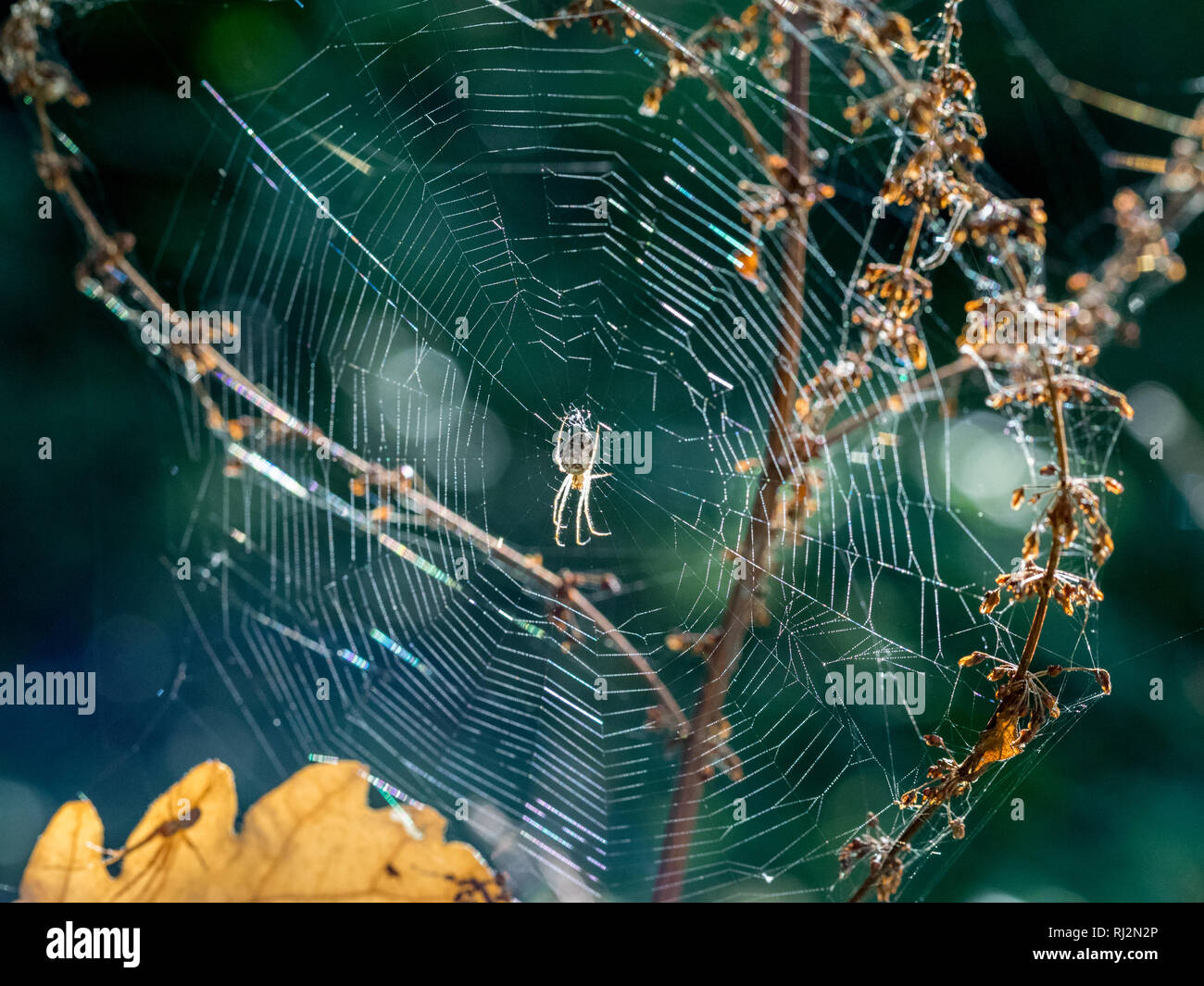 A Cardinal spider Tegenaria parietina waiting in the centre center of the silk web between twigs and branches back lit shot into the light in autumn - Stock Image