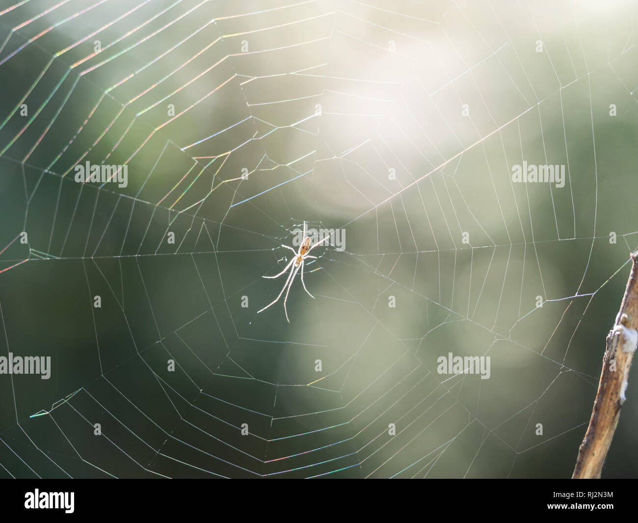A Daddy Lond Leg Pholcidae spider waiting in the centre center of the silk web between twigs and branches back lit shot into the light in autumn - Stock Image