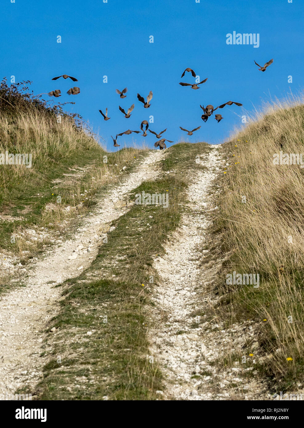 A flock of pheasants taking off escaping from brow of hill  into a clear blue autumn sky with track path road leading into frame, UK - Stock Image