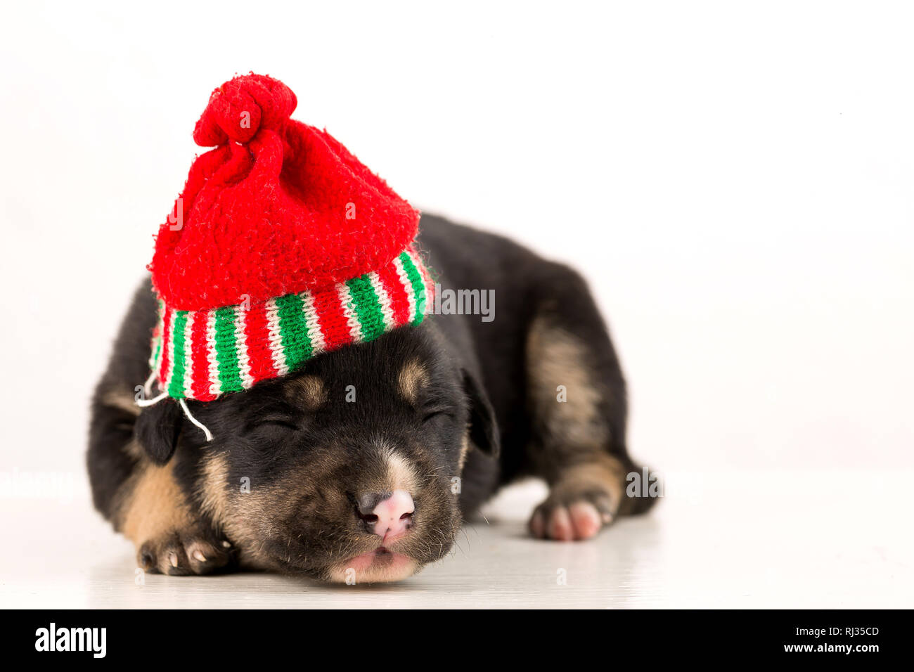 poor little newborn puppy - Stock Image