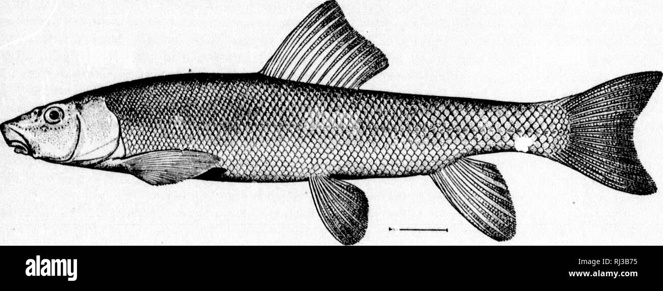 """. A report upon salmon investigations in the Columbia River basin and elsewhere on the Pacific coast in 1896 [microform]. Fishes; Salmon; Poissons; Saumon. Fui. l.âCatoitumui liilteoosfrmit Evt'rnmiin &. Mtek, uew xpucieg.. Fio. 2 CatOKlomut iiccidmlali.i Ay res. 5. CatostomuB maorooheilus Oirard. Coliimbiii Hirer Siivker; 'â Velloie Sucker."""" Abundant tliroughout entire Columbia River basin ; obtained this year Inuu Alturas and Wallowa lakes, in both of which it is abundant. It seems not to occur in .Siuslaw River, nor in lakes of that part of Oregon. Five specimens from Lake Union ne - Stock Image"""