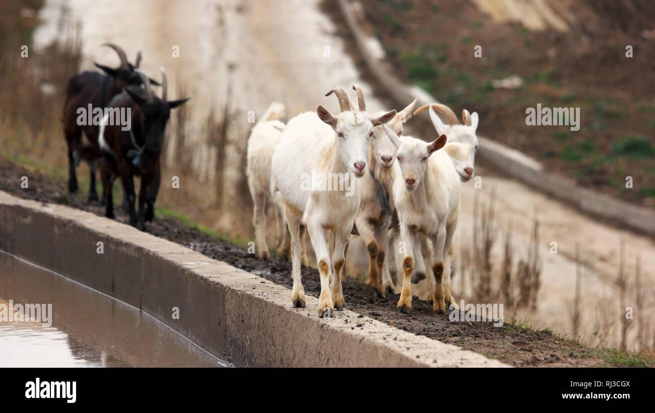 Commercial Goat Farming Stock Photos & Commercial Goat