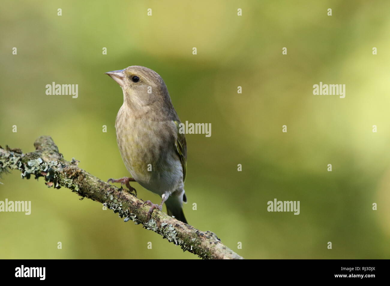 Female European Greenfinch (Chloris chloris) perched in autumn woodland, showing plumage. 29th October 2018. - Stock Image