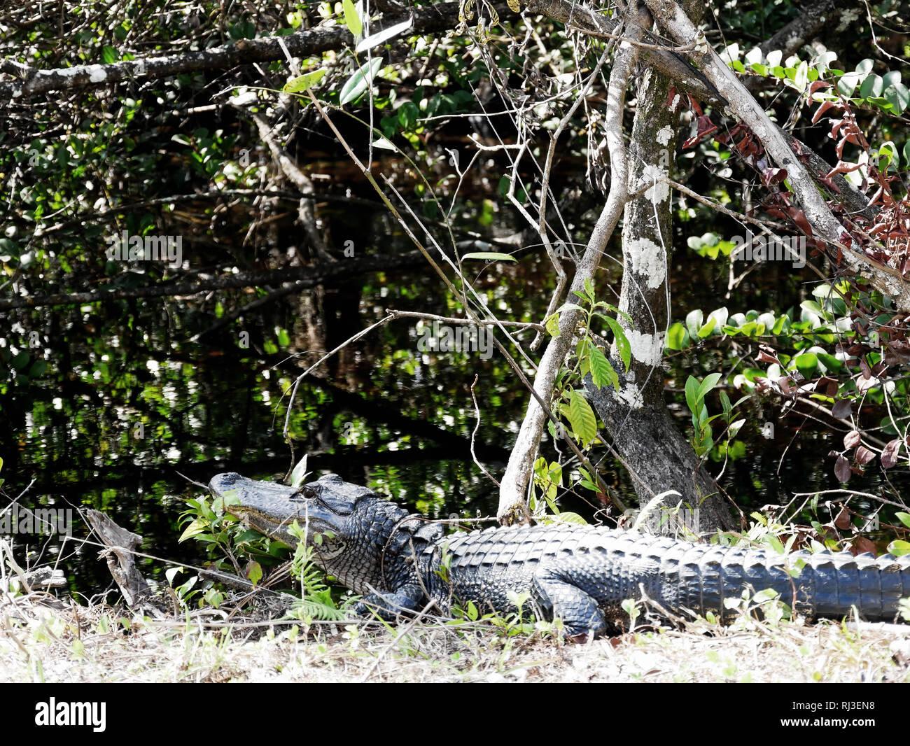Aligator on land - Stock Image