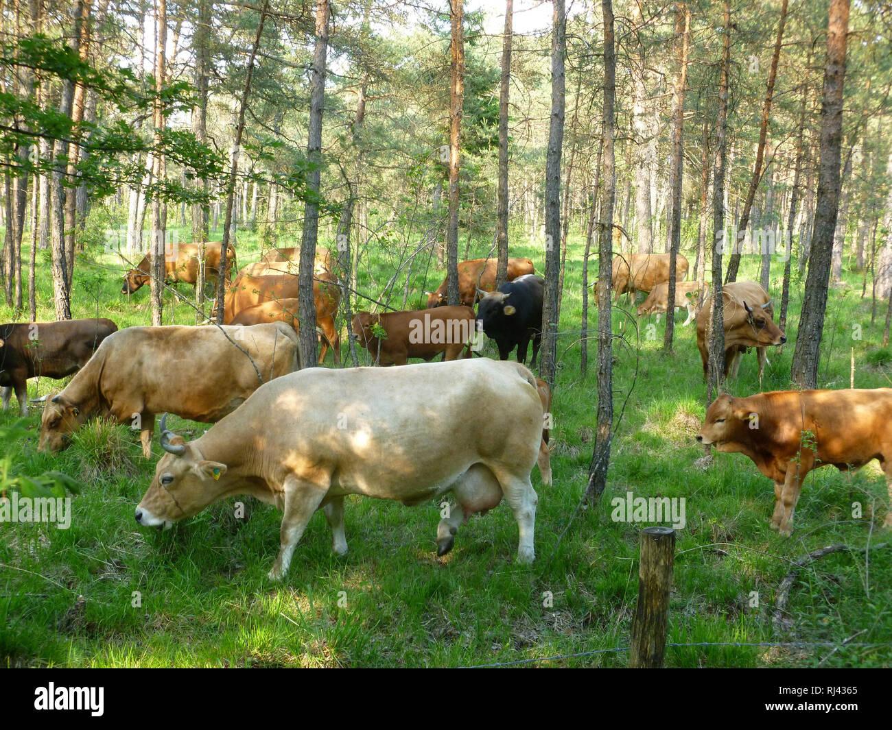 Deutschland, Oberbayern, Pupplinger Au, Rinder, - Stock Image