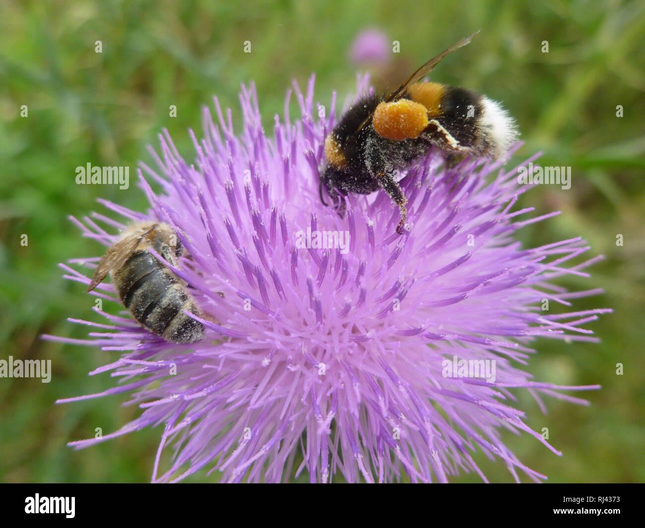 Deutschland, Oberbayern, Hummel und Biene, - Stock Image