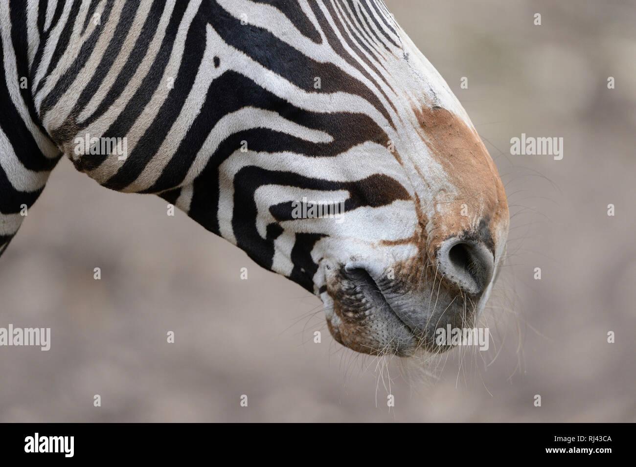 Bergzebra, Equus Zebra, Detail, Nase, Stock Photo