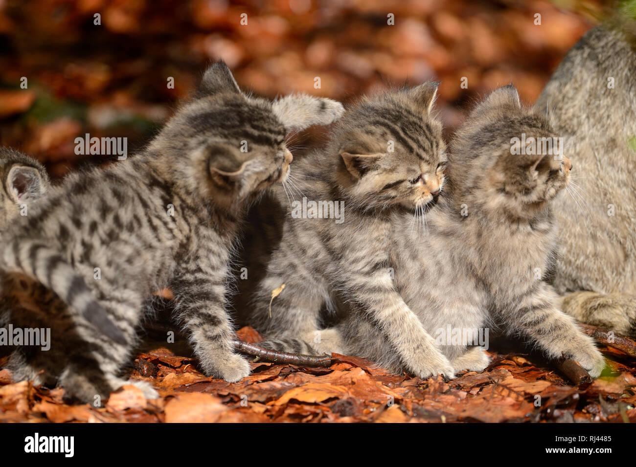Europ?ische Wildkatzen, Felis silvestris silvestris, Jungtiere, seitlich - Stock Image