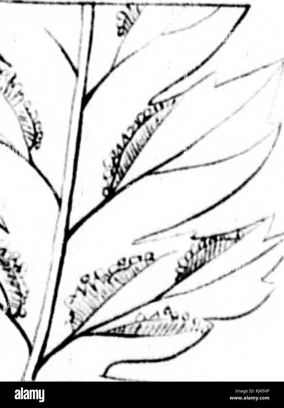 . The ferns of North America [microform] : colored figures and descriptions, with synonymy and geographical distribution, of the ferns (including the ophioglassaceae) of the United States of America and the British North American possessions. Ferns; Fougères. Pkle I,/0 I^S*^ ;'5:--e.; (^ M. Am.jui.ri,: A Zi .iu So. Please note that these images are extracted from scanned page images that may have been digitally enhanced for readability - coloration and appearance of these illustrations may not perfectly resemble the original work.. Eaton, Daniel Cady, 1834-1895. Salem [Mass. ] : S. E. Cassi Stock Photo