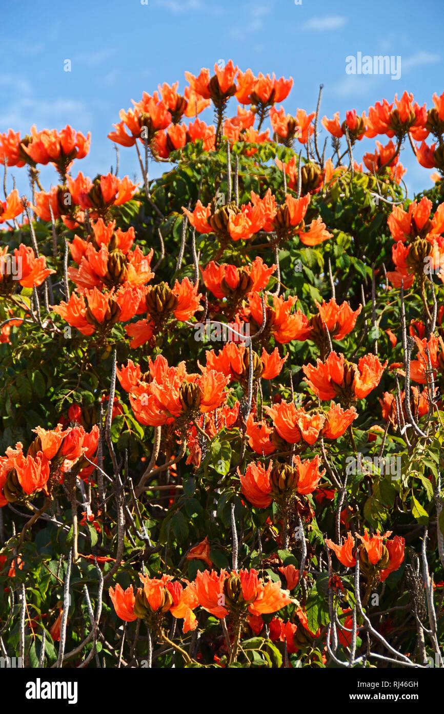 Madeira, afrikanischer Tulpenbaum - Stock Image