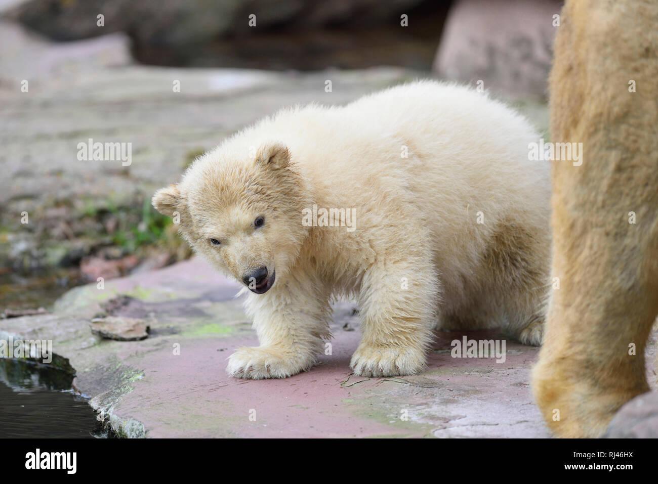 Eisb?r, Ursus maritimus, Jungtier, Felsen, frontal, stehen - Stock Image