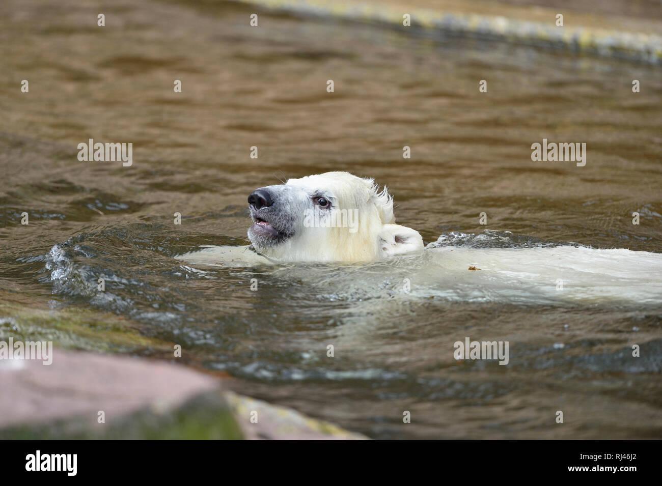 Eisb?r, Ursus maritimus, Jungtier, Wasser, seitlich, schwimmen - Stock Image