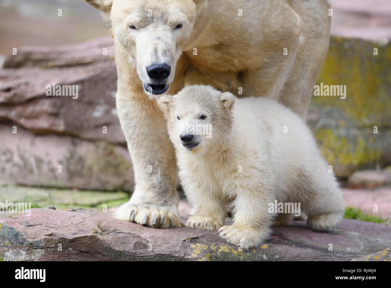 Eisb?ren, Ursus maritimus, Muttertier, Jungtier, Felsen, frontal, stehen, Blick Kamera - Stock Image