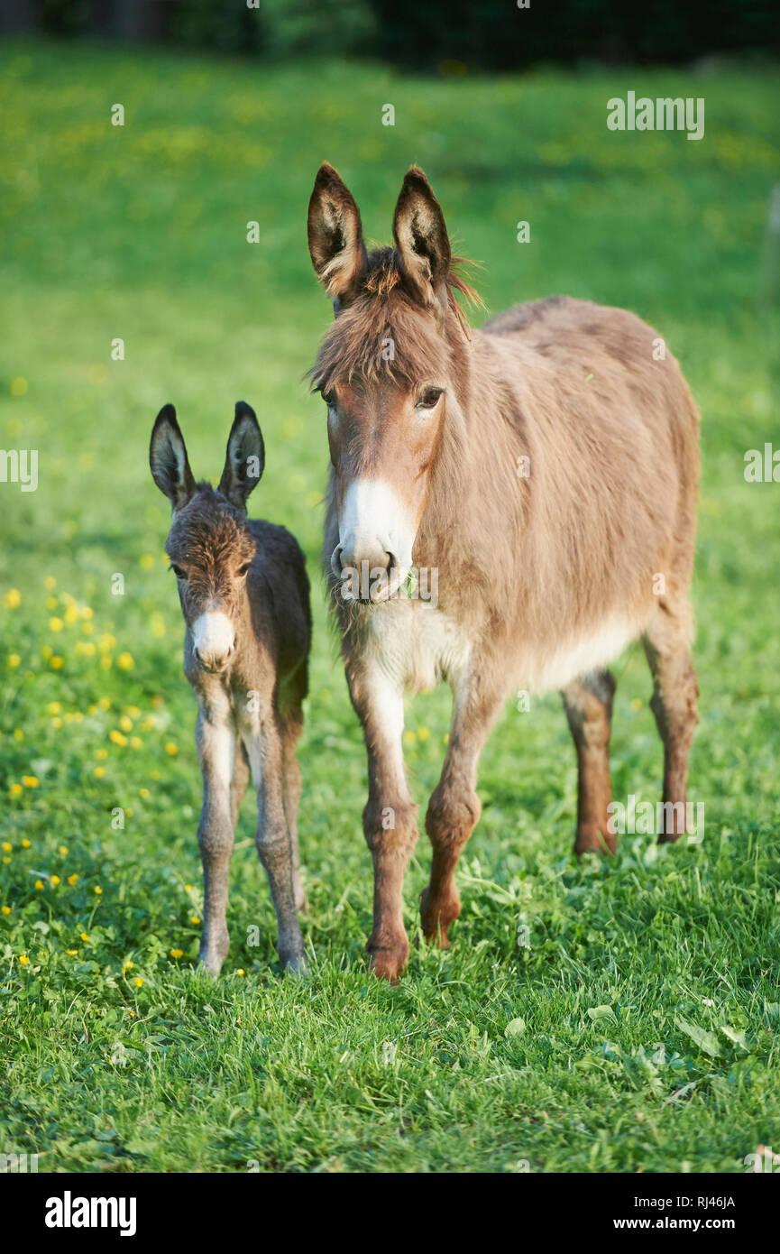 Hausesel, Equus asinus asinus, Stute, Fohlen, Wiese, frontal, stehen, Blick Kamera Stock Photo