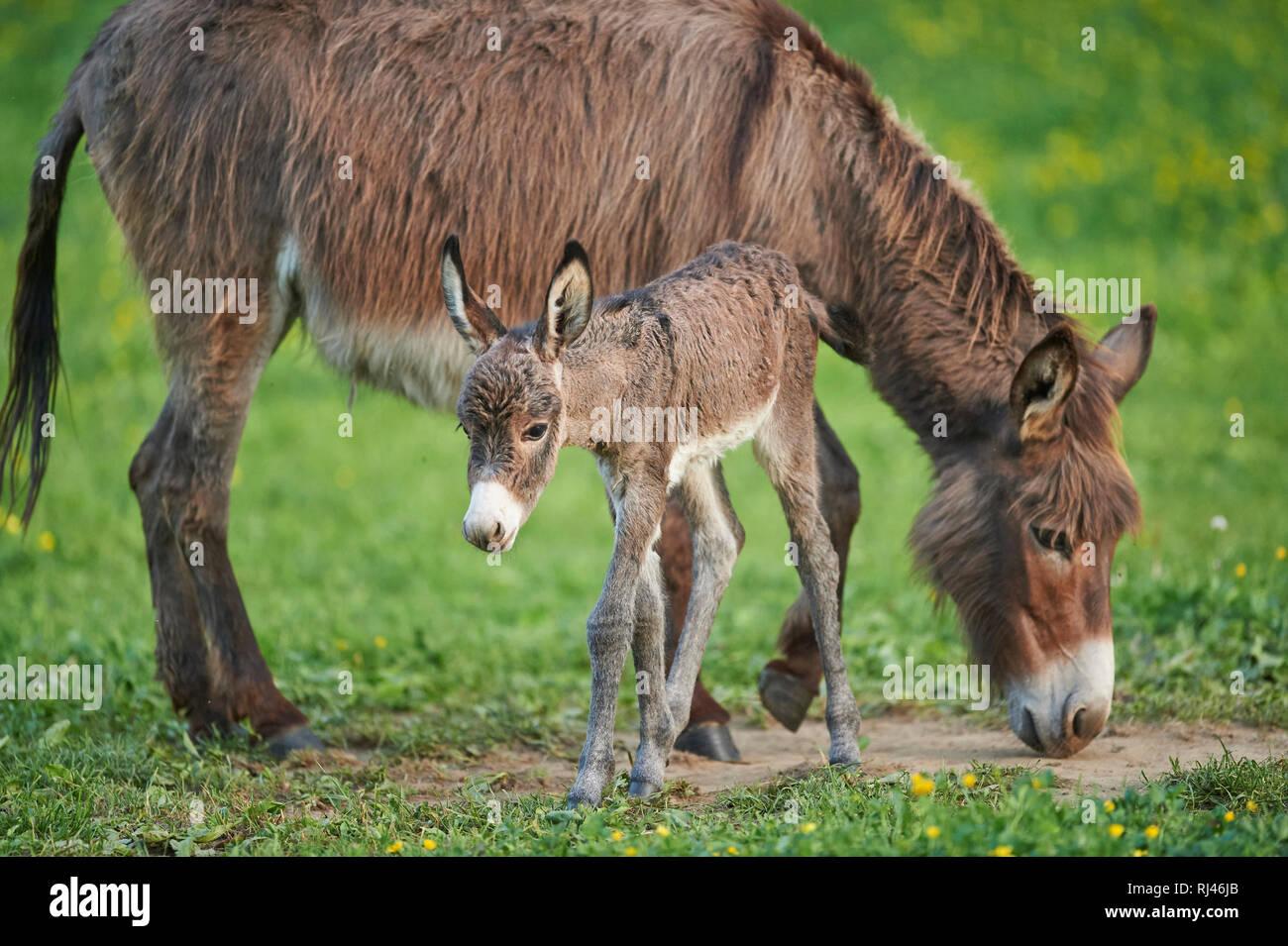 Hausesel, Equus asinus asinus, Stute, Fohlen, Wiese, seitlich, stehen - Stock Image