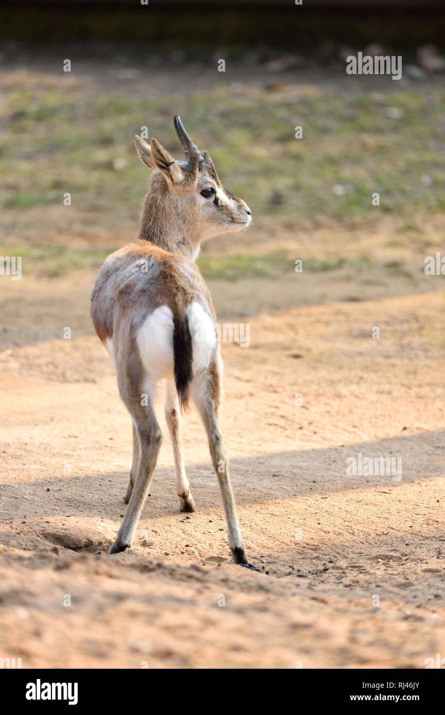 Kropfgazelle, Gazella subgutturosa, Sand, seitlich, stehen - Stock Image
