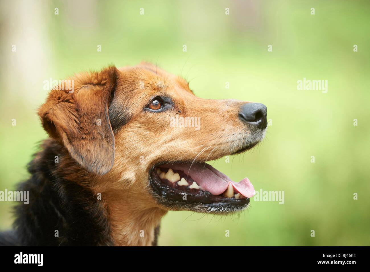 Mischlingshund, Porträt, seitlich - Stock Image