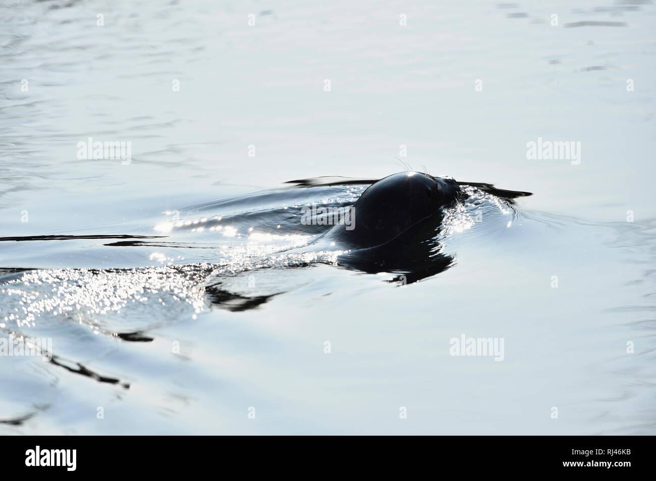 Seehund, Phoca vitulina, Wasser, schwimmen, R?ckansicht, Gegenlicht - Stock Image