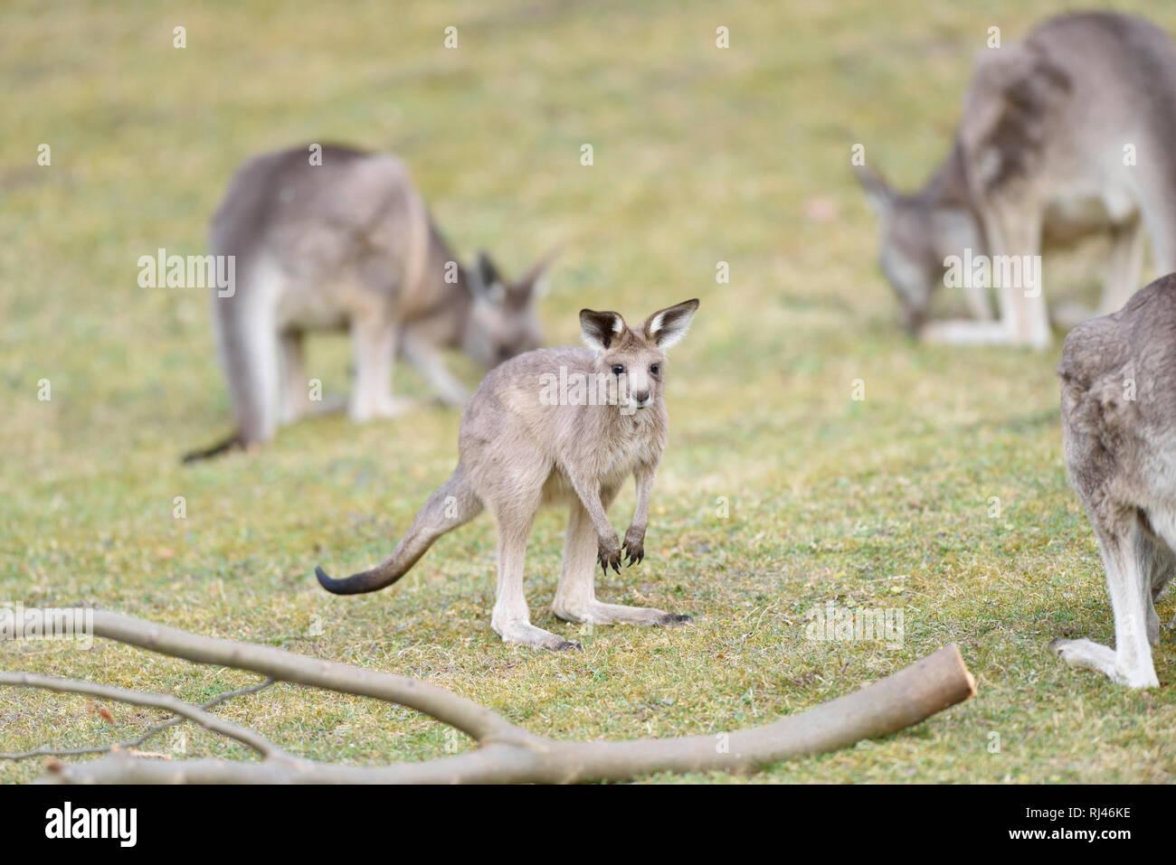 ?stliches Graues Riesenk?nguru, Macropus giganteus, Jungtier, Wiese, hocken, Blick Kamera - Stock Image