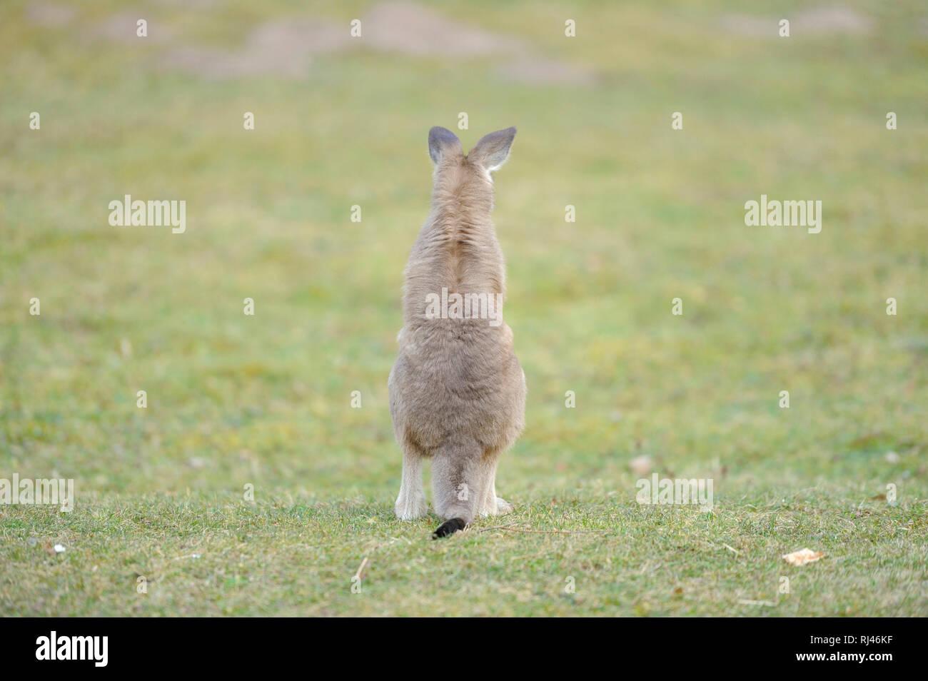 ?stliches Graues Riesenk?nguru, Macropus giganteus, Jungtier, Wiese, sitzen, R?ckansicht - Stock Image