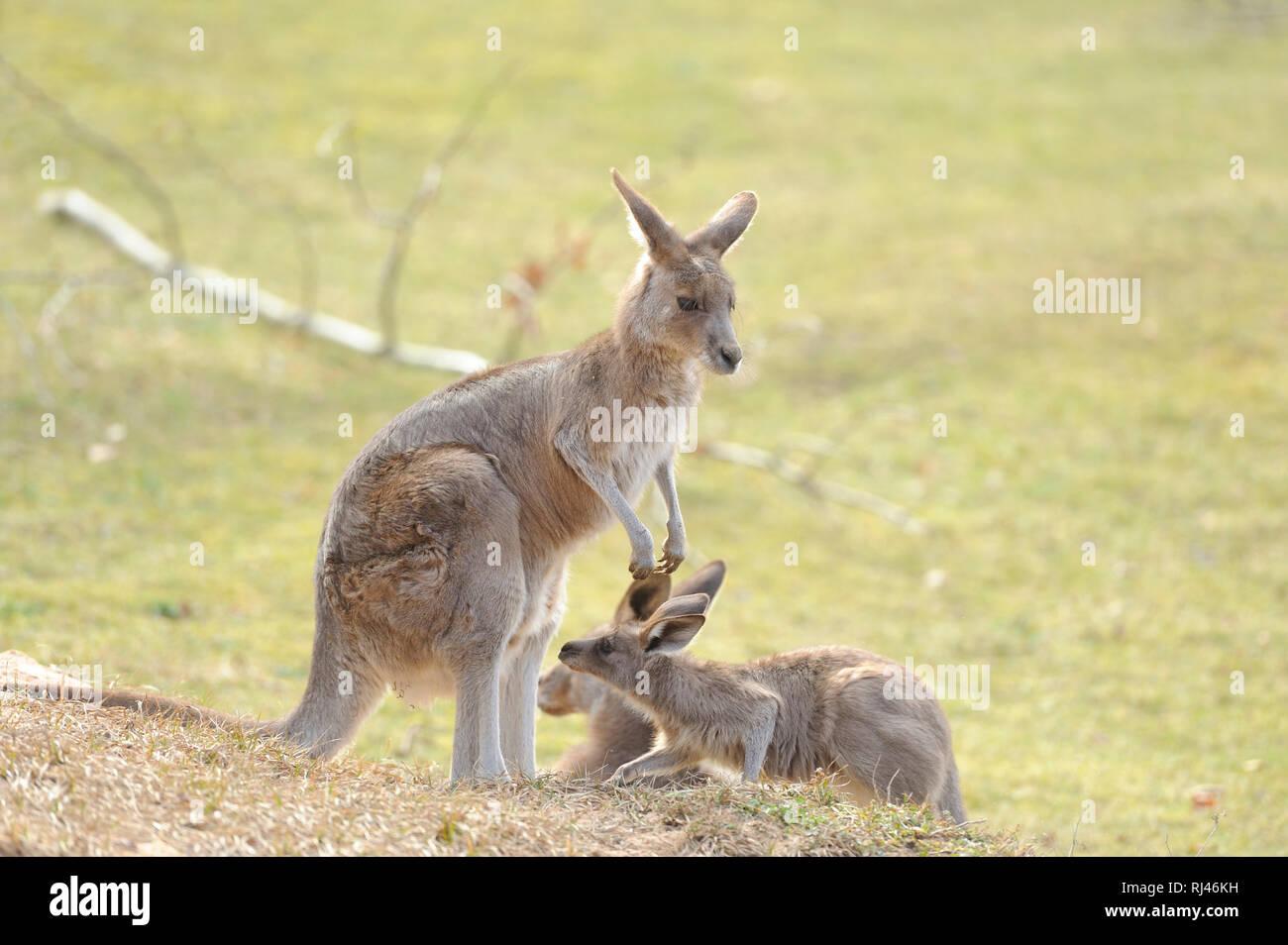 ?stliches Graues Riesenk?nguru, Macropus giganteus, Muttertier, Jungtier, Wiese, seitlich, stehen - Stock Image