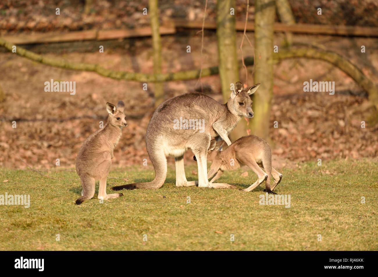 ?stliches Graues Riesenk?nguru, Macropus giganteus, Muttertier, Jungtiere, Wiese, seitlich, stehen - Stock Image