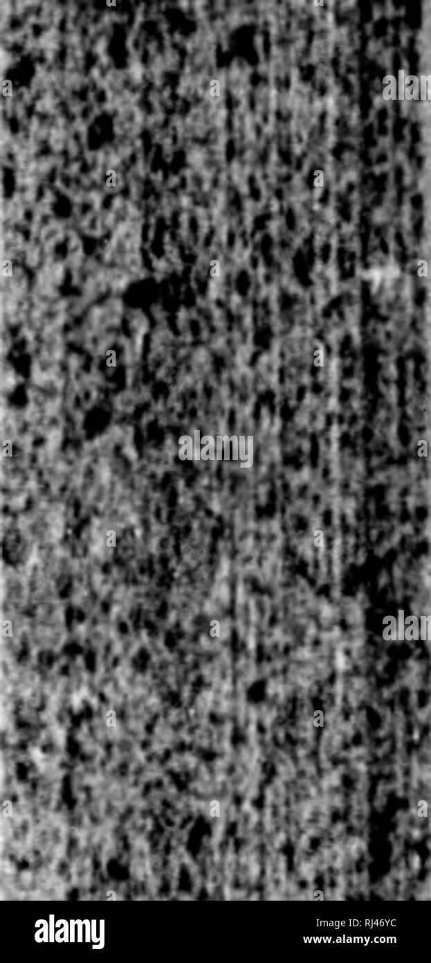 . Classification of the Coleoptera of North America [microform]. Beetles; Beetles; Coléoptères; Coléoptères. BTAPIIYLINIOAK. 61 Ilcail not foii.striutod into a Uiurow m;clc ; A. Joiutd of hind tarsi u(iufil, or sligiiliy decroasing in length ; Anterior and middlo libiaj atrougiy spinous exturnally. I'liVTOiiL'S, Tibia) not spinous ; Labial palpi ;i-jointod; Ligiila long, siciidur, bifid at tho extremity ; joints of liind tarsi 1â4 i^iiiial. Hoi'Landima. Ligula short, bilid; joints of hind tarsi 1â4 ili'uri'ahiiig in ItJllgth. lIoMAI.OTA. Labial palpi very long, two-jointed ; joints of hind - Stock Image