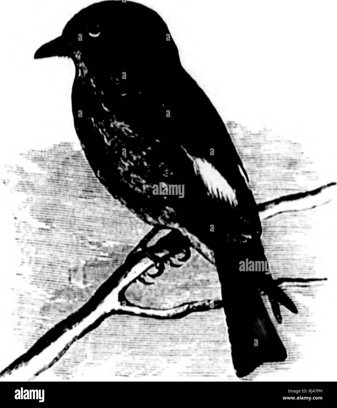 . A history of North American birds [microform] : land birds. Birds; Ornithology; Oiseaux; Ornithologie. TYUAXNIIJ.E — TlIK FLYCATCIIEUS. 35;j Contopus borealis, Haikd. OLIVE-BIOED FLYCATCHER. Turniniiis bumtlis, Sw. k Uioil. F. Itor.-Aui. II, 1H31, 141, pliitc. Mi/iuliius Ijuiriilis, OitAV, (Jcni'iu, 1, '2ii. Musficu/ia cuopcri, NriTALL, Man. 1, 18yj, ^S'J. — Arn. Oiii. Hiog. 11, 1834, Vl-i ; V, ISUi), 422, I'l. clxxiv. — In. Syiioiisis, 18;J!I, 41. In. Birds Am. I, 1840, 212, i. Iviii. I'l/mnnun coiijicri, linN.vi'. List, 1838. — NliiAl.i,, Man. I, (2(1. I'll.,) 184(1, 2!I8. (,'oiiliijiiis - Stock Image