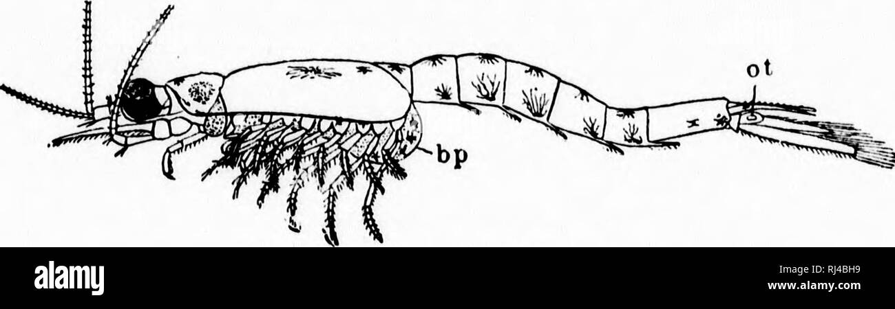 . A textbook of invertebrate morphology [microform]. Invertebrates; Morphology (Animals); Invertébrés; Morphologie (Animaux). TYPE CRUSTACEA. 407 BrauchisB are present in Mysis only in the form of small epipodial elevations of the thoracic appendages, and in Siriella as coiled tubular structures on the protopodites of the abdom- inal appendages of the males. In Euphausia, however, they form large ramided bunches attached to the protopodites of the thoracic limbs and are present even on the rudiments of the seventh and eighth pairs; they are not, however, enclosed. Fig. 184. —Mysts relicta (aft - Stock Image