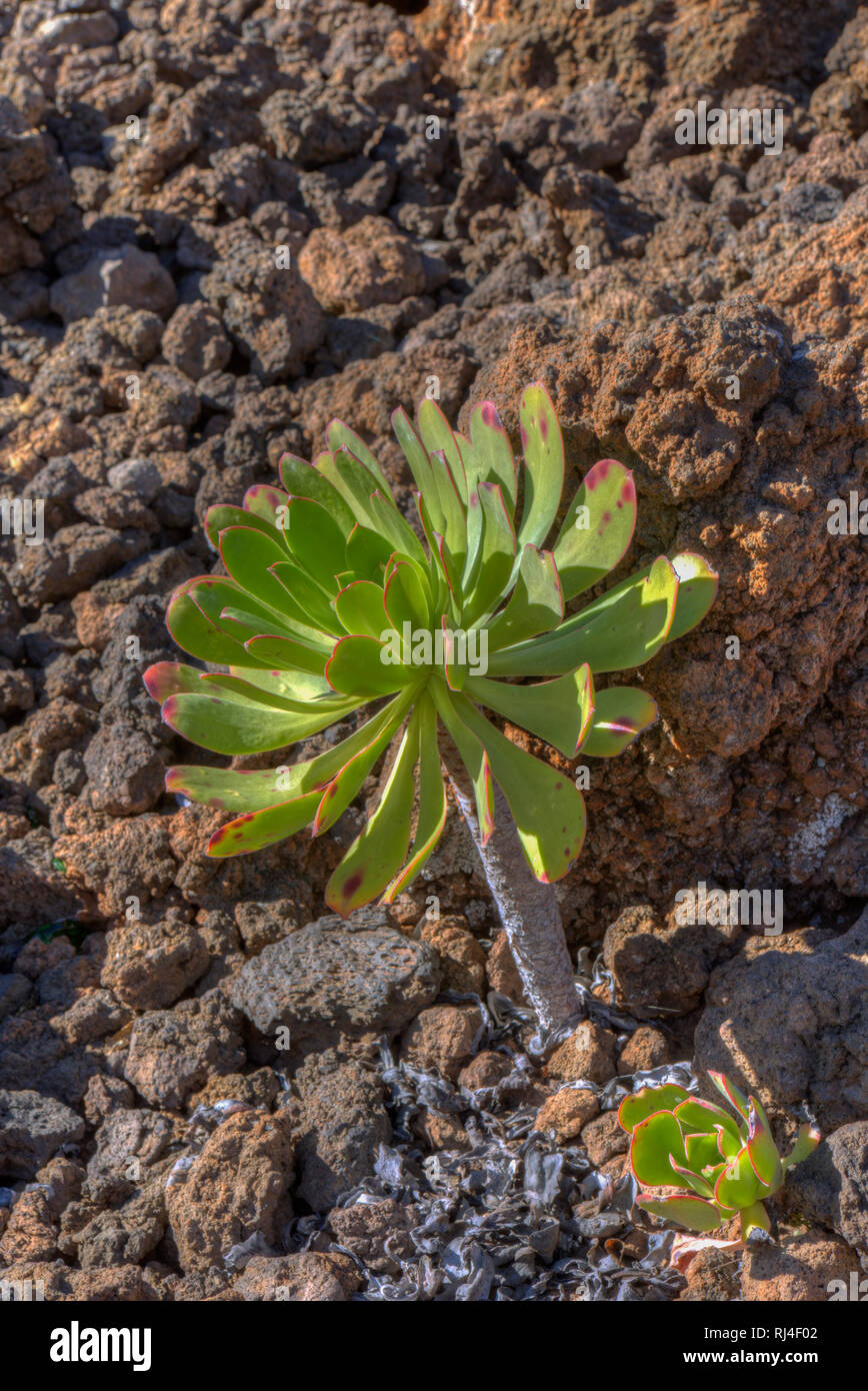 Aeonium appendiculatum, Sukkulente, Teneriffa, Kanarische Inseln, Spanien, - Stock Image