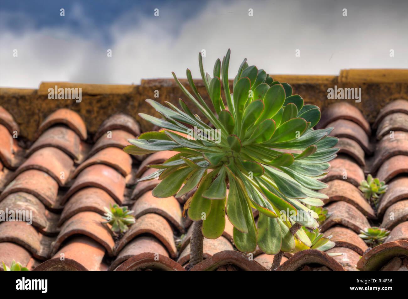 Sukkulente w?chst auf Hausdach, La Laguna, Teneriffa, Kanarische Inseln, Spanien, - Stock Image