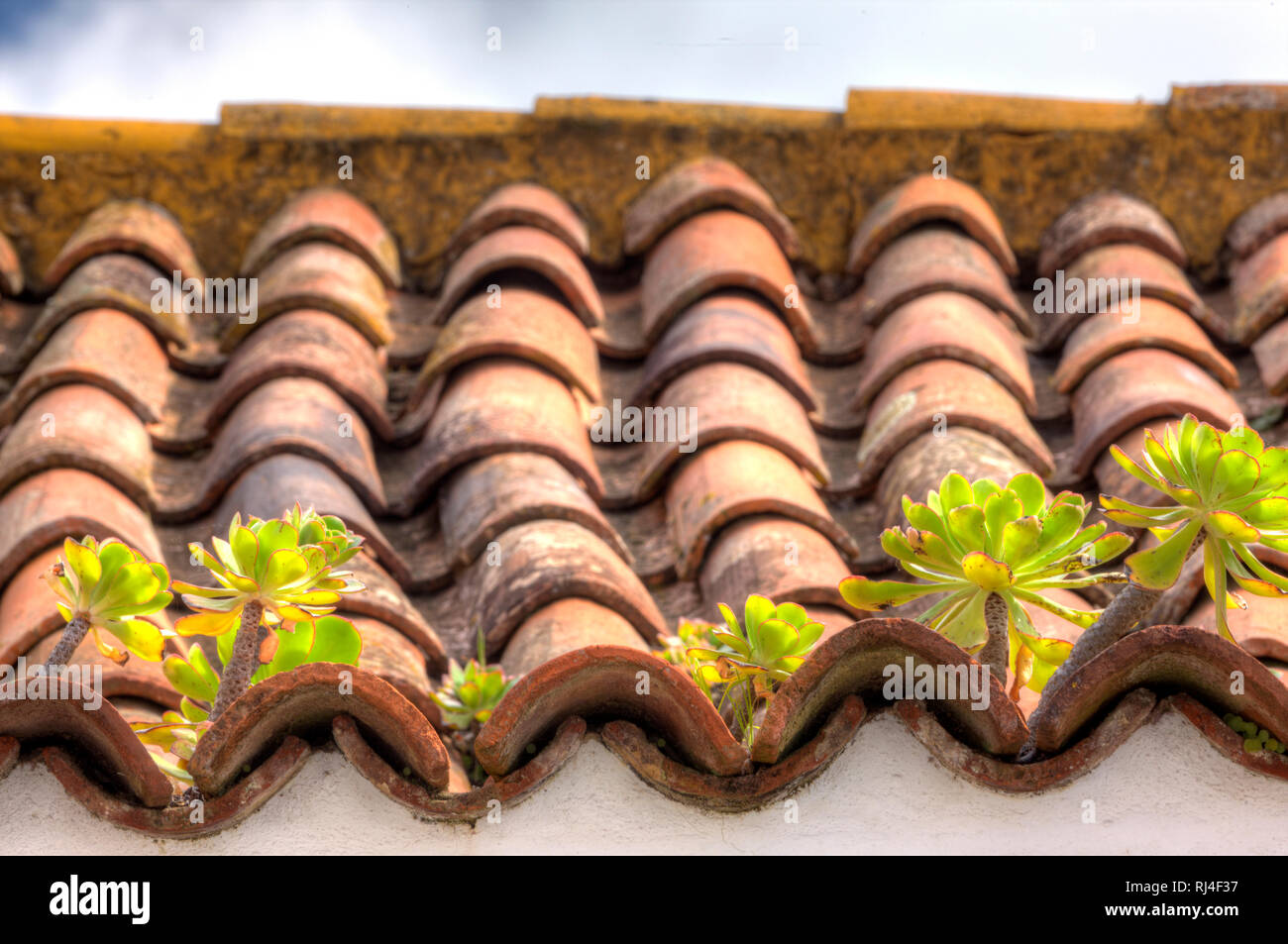 Sukkulenten wachsen auf Hausdach, La Laguna, Teneriffa, Kanarische Inseln, Spanien, - Stock Image