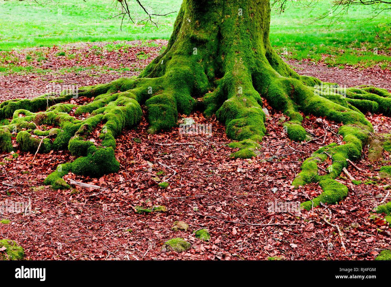 Bemooste Baumwurzeln - Stock Image