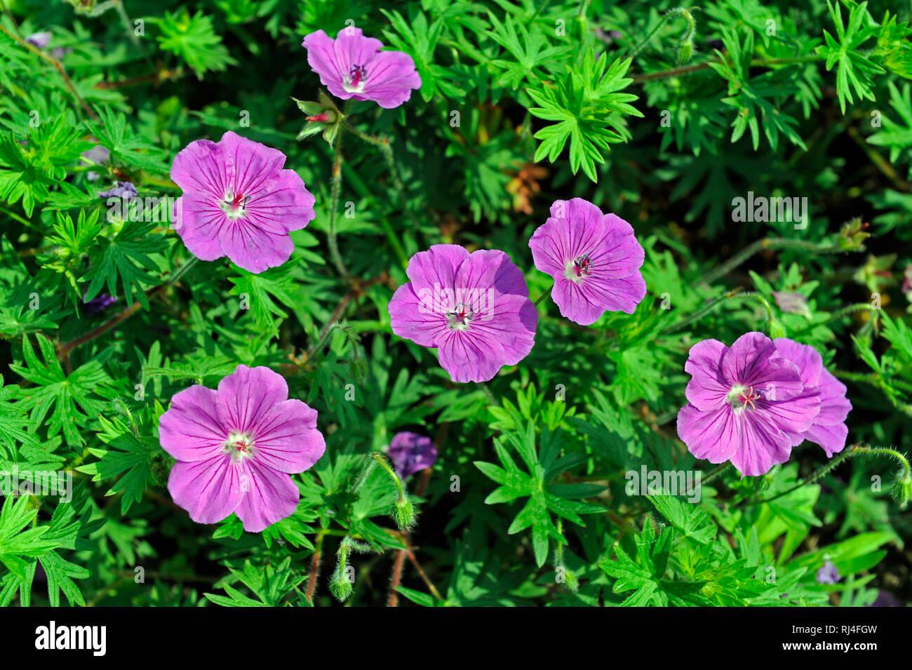 Bl?hendes Geranium, auch Blut-Storchschnabel, als Bodendecker im fr?hsommerlichen Blumengarten Stock Photo