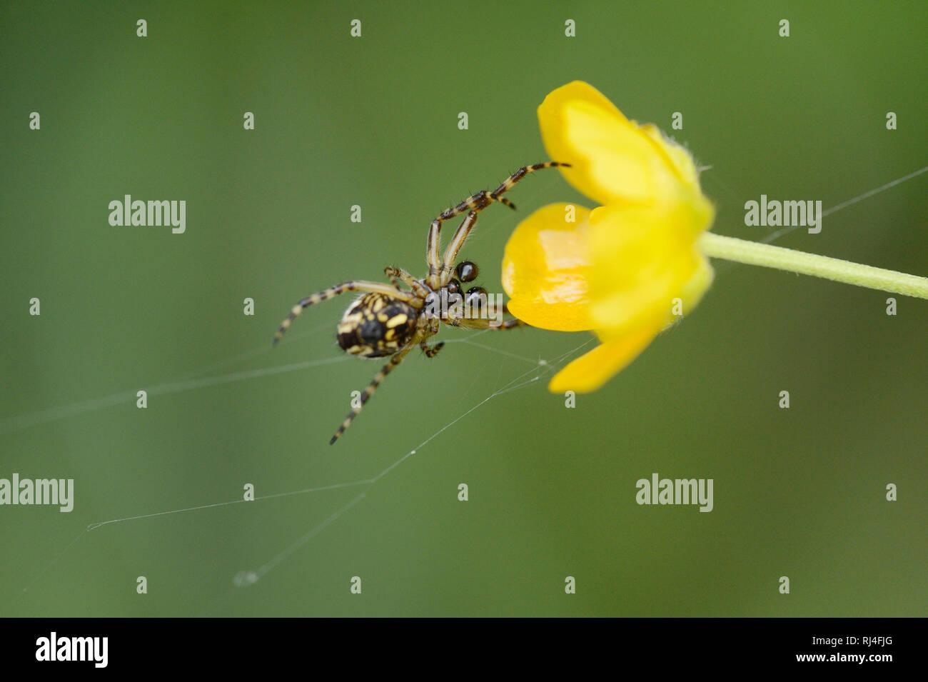 Eichblatt-Kreuzspinne, Aculepeira ceropegia, Bl?te, Netz, Nahaufnahme - Stock Image