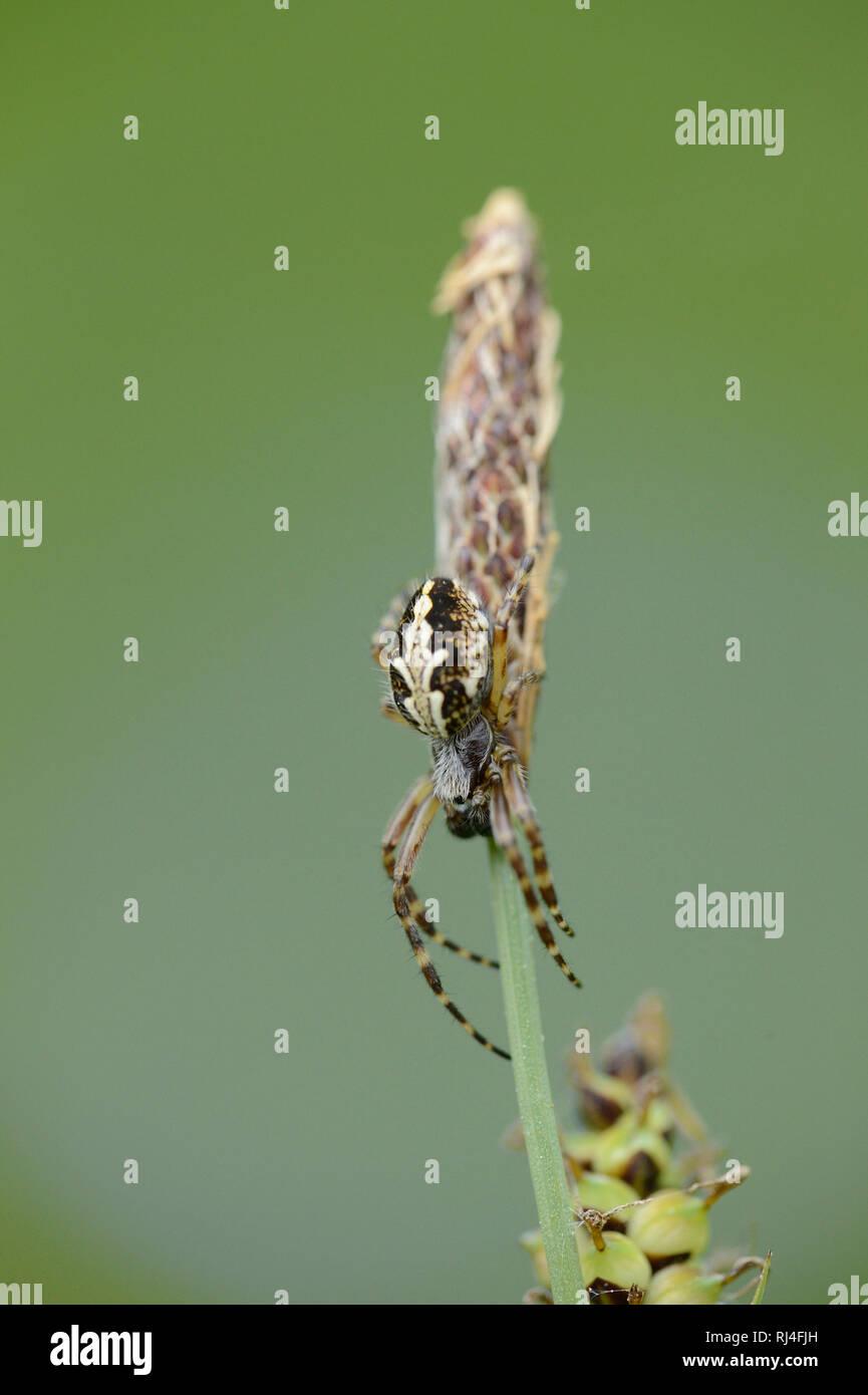 Eichblatt-Kreuzspinne, Aculepeira ceropegia, Grashalm, Netz, Nahaufnahme - Stock Image